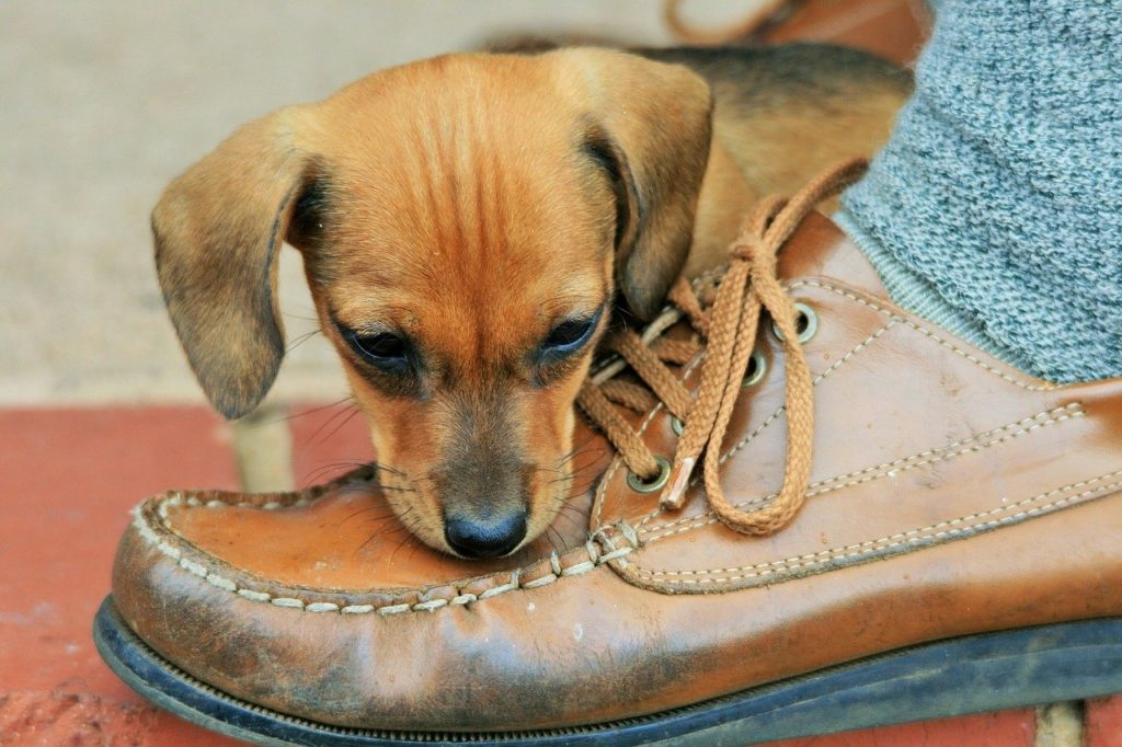Puppy chews shoe