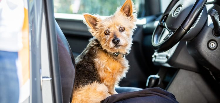Images shows a small dog sitting on the drivers seat of a pet taxi